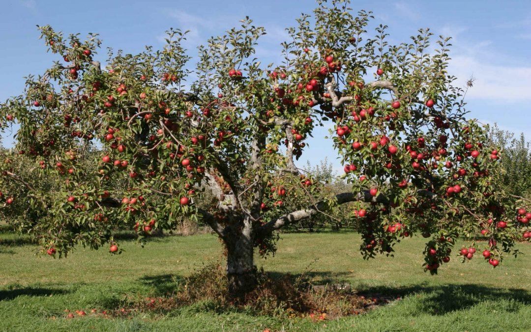 Il melo: potatura, forme di allevamento e cure, guida completa